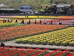 はむら花と水の祭り2016 チューリップ祭り.jpg