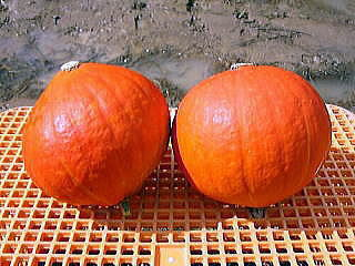 紅爵かぼちゃ.jpg